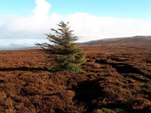 Lone tree on Grit Fell, Forest of Bowland