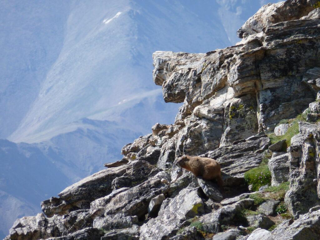 Marmot on Mount Massive