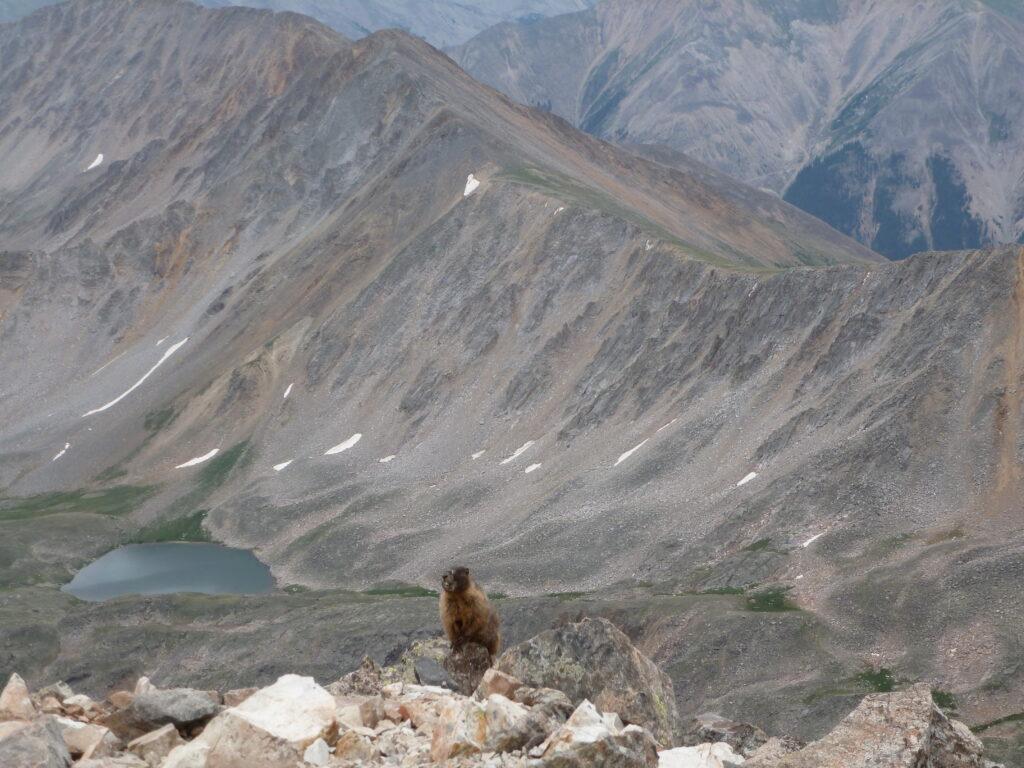 Irritated marmot